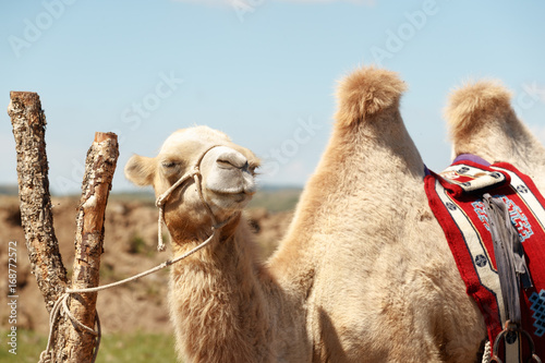 Fotobehang Kameel Double hump camels (Bactrian Camels) in grassland of Mongolia are in danger.They considered as endangered species