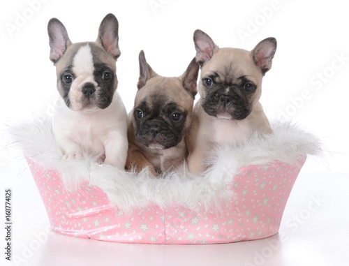 Foto op Canvas Franse bulldog three puppies in a dog bed