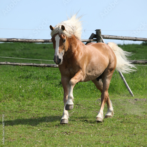 Amazing haflinger running on pasturage Poster