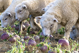Sheep in New Zealand. - 168787340