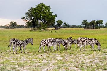 Zebras flock in the Moremi Game Reserve (Okavango River Delta), National Park, Botswana