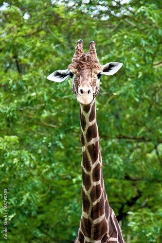 Giraffe - Giraffa camelopardalis