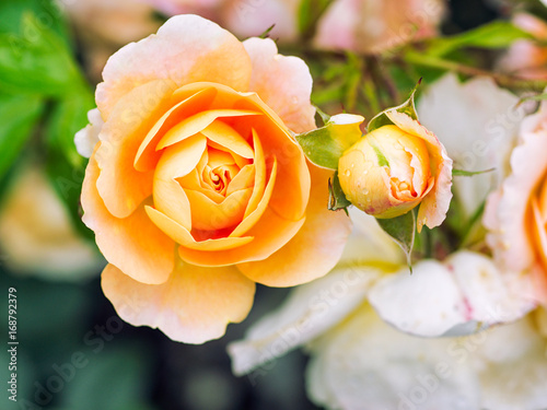 Poster summer rose flower