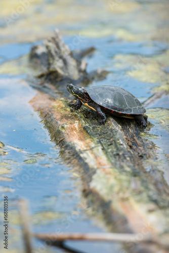 Foto op Aluminium Toronto Turtle in Toronto