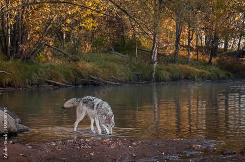 Aluminium Wolf Grey Wolf (Canis lupus) Walks Right Head Down