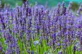Selective focus of blooming Lavender plants at