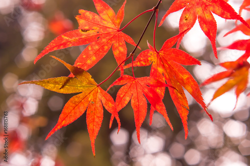 Papiers peints Rouge Fall Color Maple Leaves at the Forest in Kochi, Japan