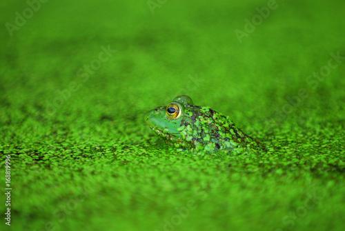 Fotobehang Kikker Green