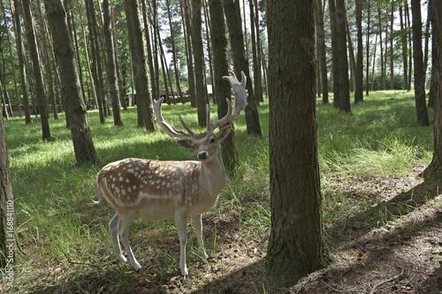 Damhirsch im Wald