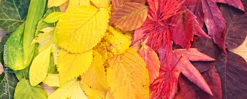 Rainbow of colorful autumnal leaves, panorama © Delphotostock