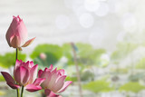 Pink lotus flowers on blurred lotus leaves in lake with soft bokeh background - 168854313