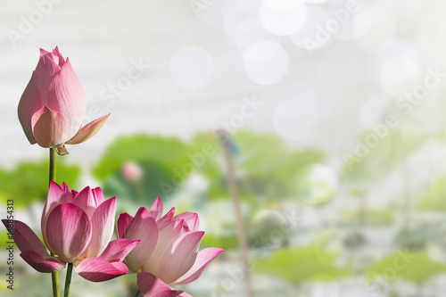 Pink lotus flowers on blurred lotus leaves in lake with soft bokeh background