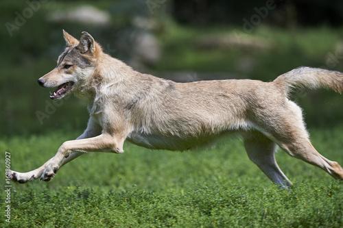 Aluminium Wolf Rennender Wolf
