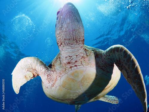 zolw-morski-w-czystej-wodzie