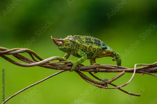 Fotobehang Kameleon Trioceros jacksonii -