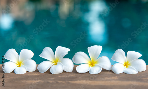 Aluminium Plumeria Tropical frangipani white flower near the swimming pool, flower spa. Copy space.