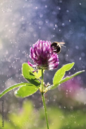The bee collects pollen from a clover flower in beams of the sun
