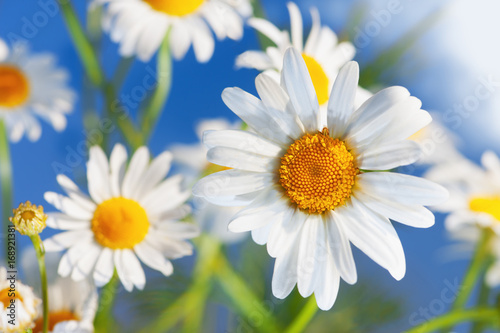 Chamomile against the sky. Poster