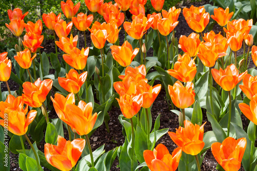 Orange tulip field on a sunny day Poster