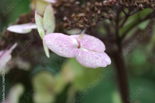 Aluminium Hydrangea einzelne Blüte einer rauen Hortensie