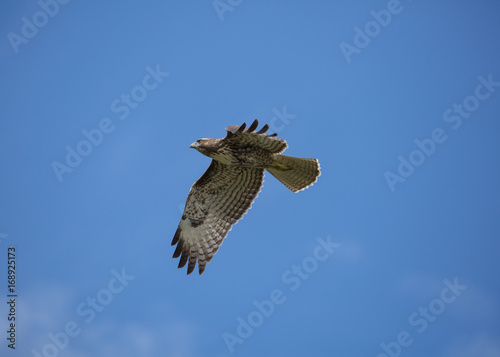 Red tailed hawk with wings on the down beat