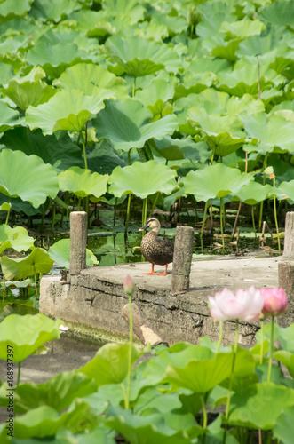 Fotobehang Pier 蓮池のカルガモ