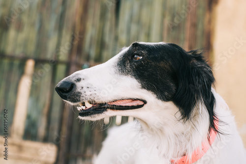 Dog portrait. Borzoi dog looking away. Shallow depth of field.