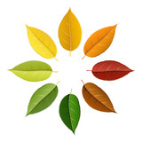 Fototapety Autumn leaf set arranged in circle with color palette, isolated on white, for autumn design and decoration. Realistic vector illustration.