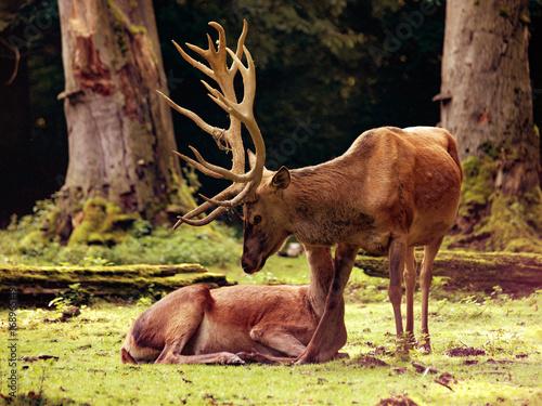 Fotobehang Hert Red deer (Cervus elaphus) with hind on a clearing in the woods