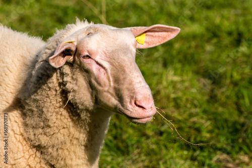 Juliste Kopf Schaf Nahaufnahme