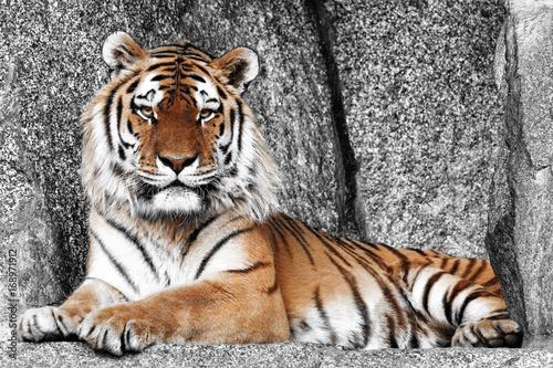 Fotobehang Tijger Imposanter Tiger
