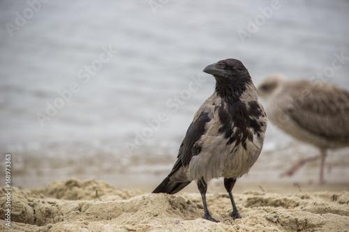 Wrona i mewa na plaży