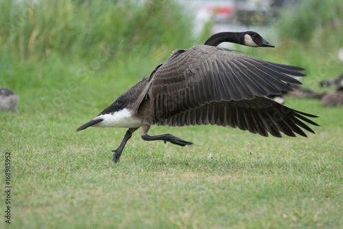 Brown goose spread wings