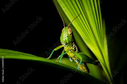 Grasshopper on a green leaf on black background. Poster