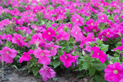 Pink flowers of petunia as a background - 169002597