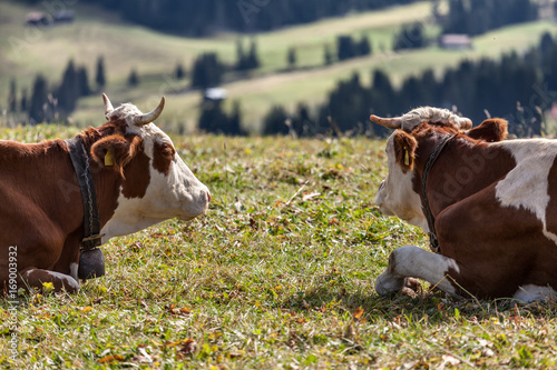 Couple of cows lying on the grass look at the landscape