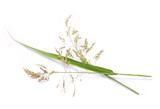 Common bulrush, isolated on white background - 169023572