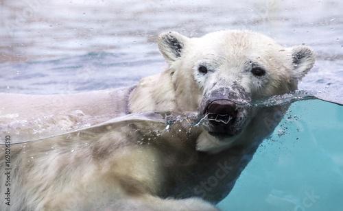 Fotobehang Ijsbeer Ours polaire nageant dans l'eau derrière une vitrine