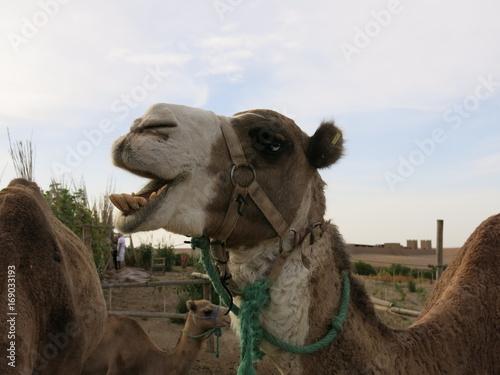Fotobehang Kameel Camelus dromedarius, Morocco, Maghreb