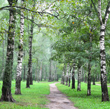 Birch alley in the summer forest