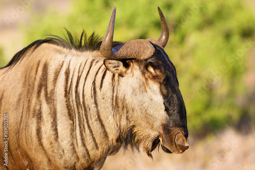 The blue wildebeest (Connochaetes taurinus), also called the common wildebeest, white-bearded wildebeest or brindled gnu, portrait in the evening light