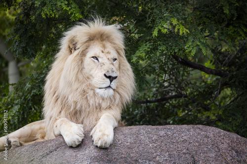 Fotobehang Lion King of the White Lion