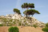 Coastal landscape between Cassis and Marseille, Umbrella Pine