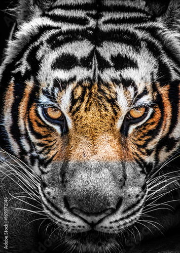 Fotobehang Tijger Eyes of tiger, color and black and white.