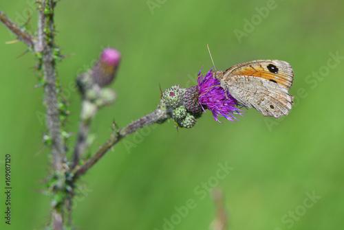 Farfalla posata su cardo viola nel prato