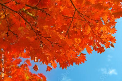 Fotobehang Rood traf. 真っ赤な紅葉と青空