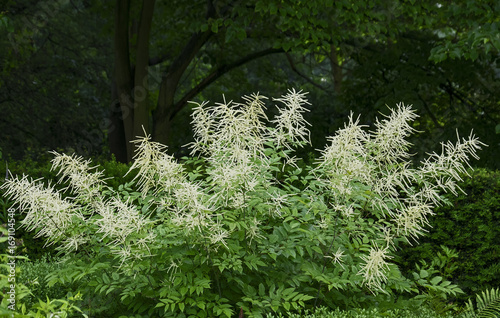 Leinwanddruck Bild Wald-Geißbart (Aruncus dioicus)