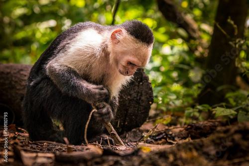 Fotobehang Aap Ein Kapuziner Affe benutzt einen Stock um Armeisen zu fangen in Costa Rica