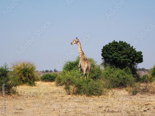 Girafe de profil - Afrique Poster