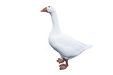 Goose on white background - 169117359